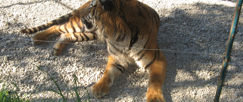 Caged Bengal Tiger