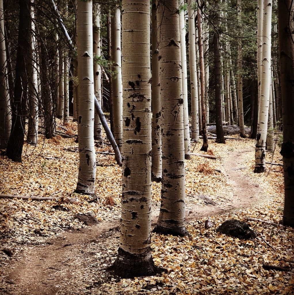 aspens trees single track
