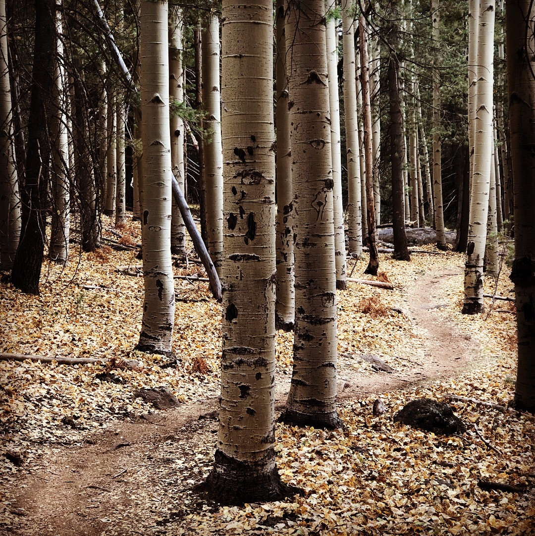 aspens trees single track top 5 passages - Arizona Trail Wrap Up