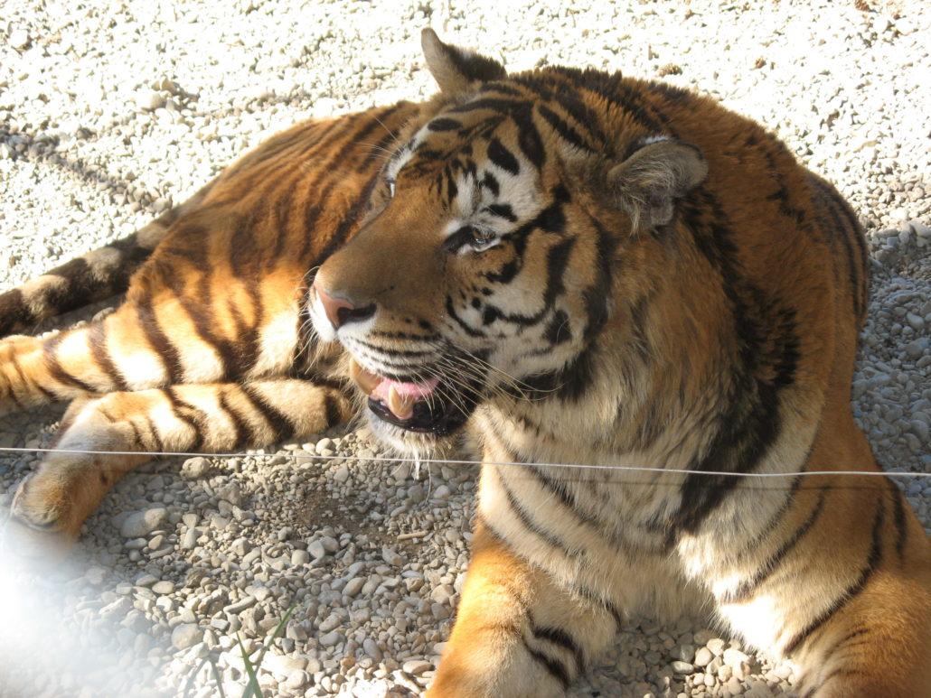 Tiger - PCT 2007 Day 11 - Umpqua - Orford, OR