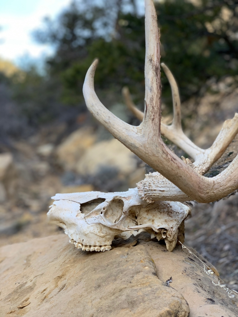 Deer Skull - Monday Canyon - Hayduke Trail